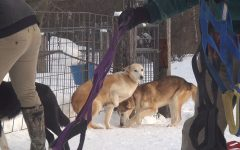 Climate changes poses challenges for mushers