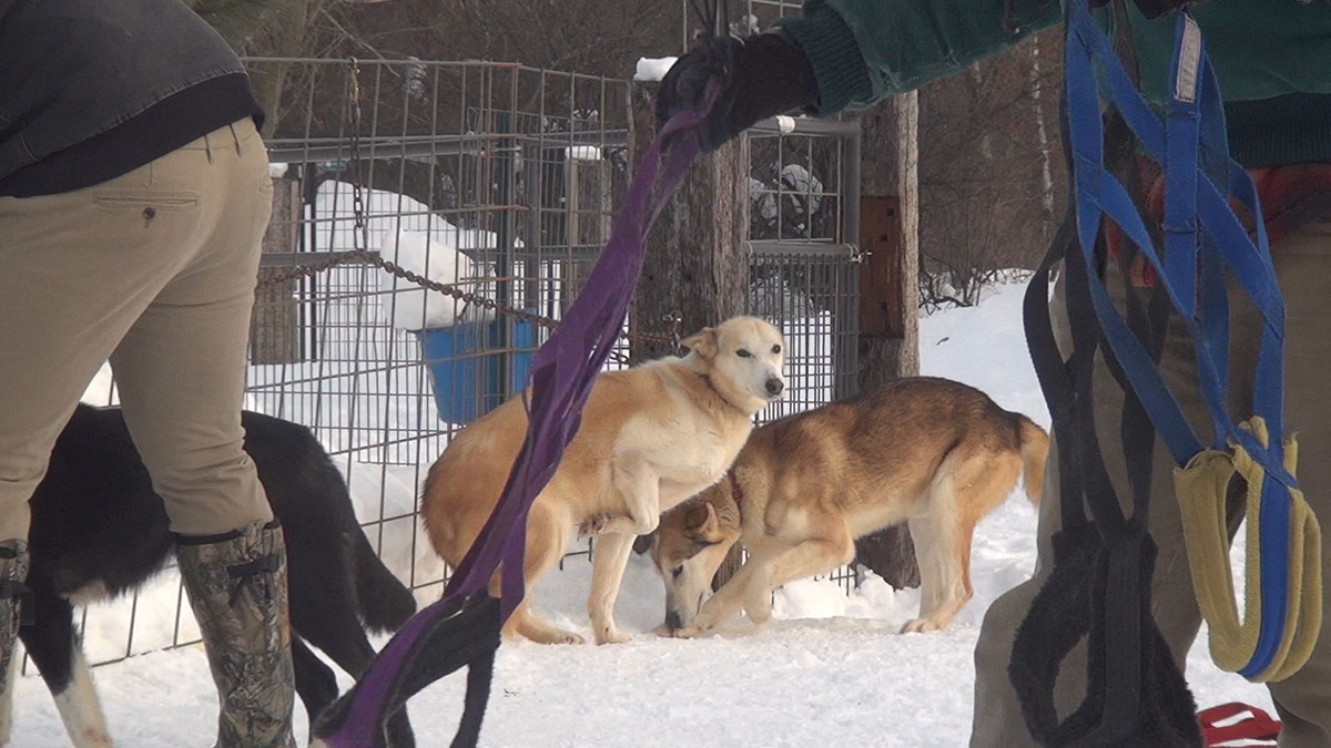 A dog awaits a sled run at Sno-Trek in Mondovi. Sno-Trek is owned by Howard Thompson.